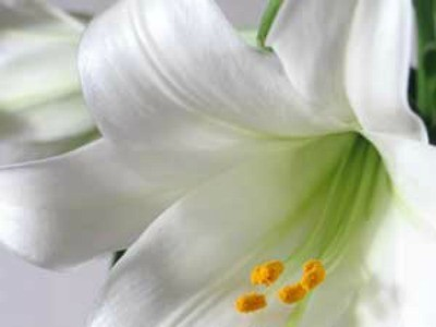 easter_lilies_l